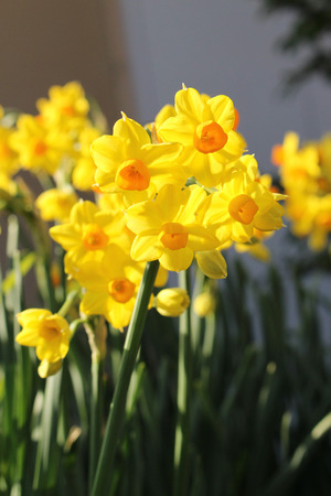jonquil: Jonquil (narcissus) flowers Stock Photo
