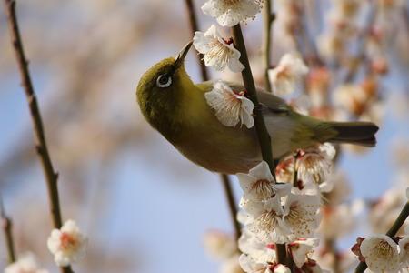 nectar: A bird sucking nectar from plum-blossoms