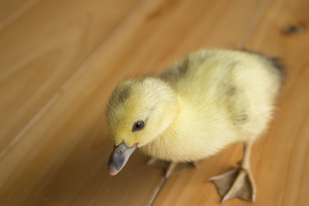 A cute duckling hatched from an egg Stock Photo