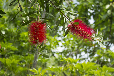 callistemon: Flower blooming on gray bottlebrush tree (Callistemon speciosus)