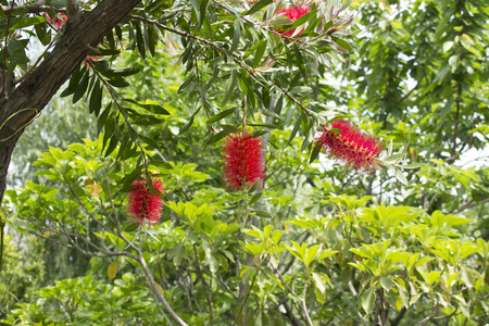 callistemon: Flower blooming on gray bottlebrush tree Callistemon speciosus Stock Photo
