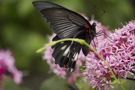 sucking: Black swallowtail butterfly sucking nectar from flowers during rainy season
