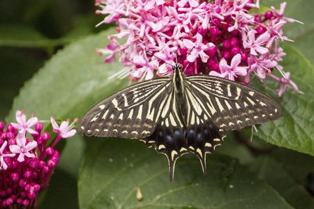 nectar: A swallowtail butterfly sucking nectar from flower furing rainy season