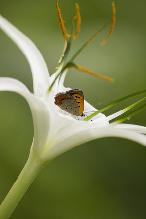 Orange butterfly sucking nectar from white lily flower