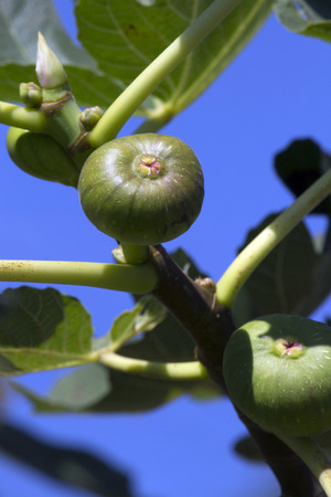 A fig tree bearing some fig fruits 写真素材