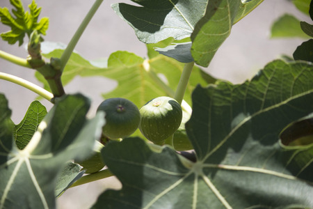 fig tree: A fig tree bearing some fig fruits Stock Photo