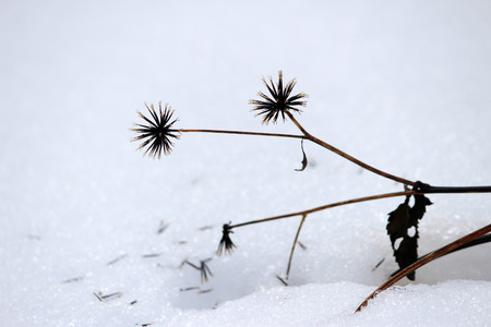 withered flower: Withered flower with seeds in snow in winter
