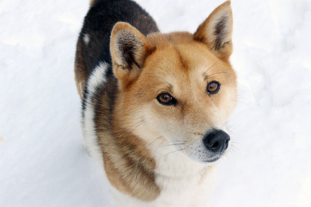 brown and black dog face: A dog in snow background staring at camera