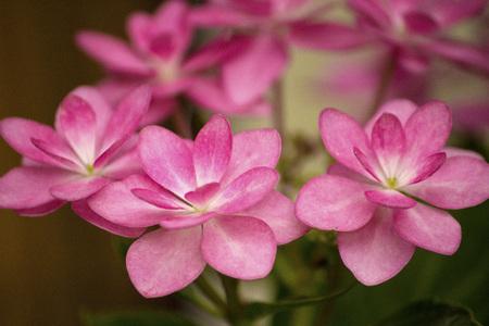 Pink lacecap hydrangea flower in the rainy season Stock Photo