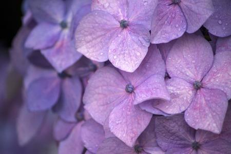 Pink and white hydrangea flower in the rainy season Stock Photo