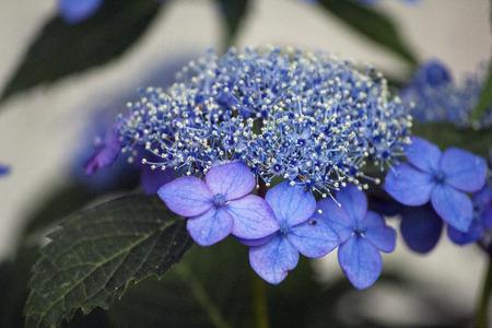 Blue lacecap hydrangea flower in the rainy season