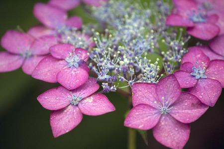 Pink racecap hydrangea flower in the rainy season