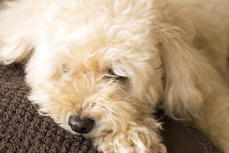 Cute toy poodle lying on the couch relaxing Stock Photo