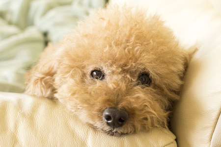 Cute toy poodle lying on the couch relaxing 写真素材