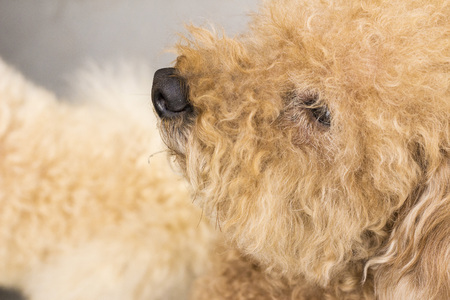 Cute toy poodle with curly fur