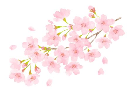 Cherry blossom watercolor illustration on white background