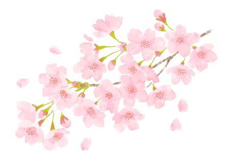 Kirschblüten-Aquarellillustration auf weißem Hintergrund