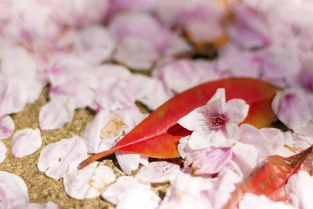 Cherry blossom petals fallen on the ground making pink carpet