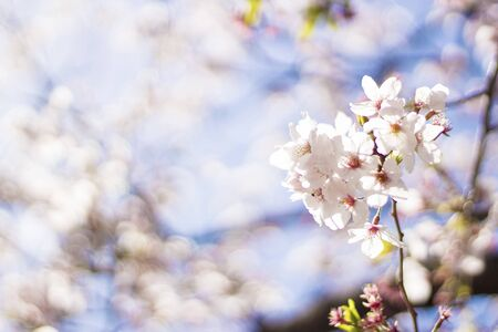 Cherry blossoms in full bloom on a sunny day