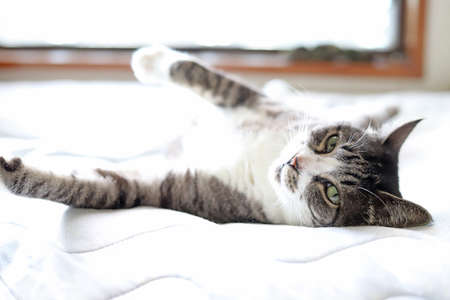 White and gray tabby cat with white socks lying on her back on the bed