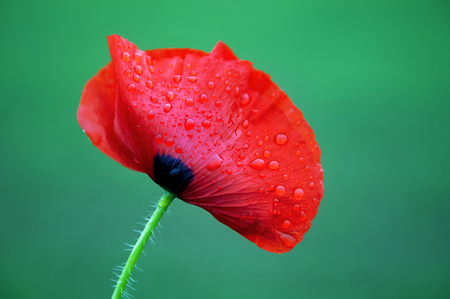 View of tender red wild poppy flower in the rain. Selected focus and natural blurred background.