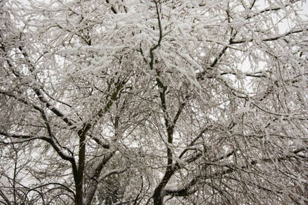 Fine layer of snow on the  branches of a Japanese Maple Tree Stock Photo - 14970708