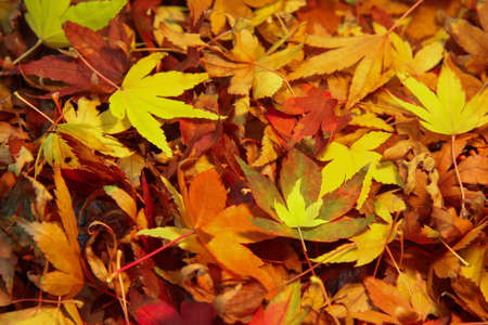 Japanese Maple Tree leaves in a colorful pile photo
