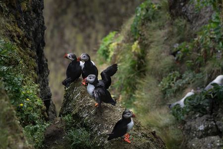 puffins: A colony of puffins Stock Photo