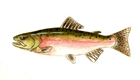 fishes: Pink Salmon