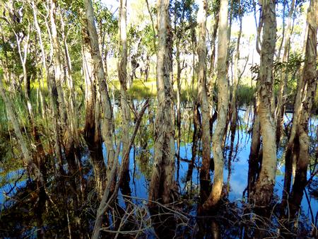 Paperbark tree swamp, near Minnie Water New South Wales Australia