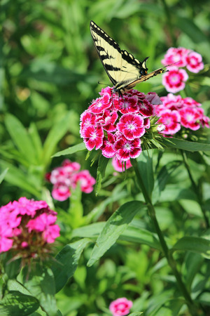 william: Butterfly on sweet William Stock Photo