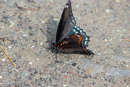 spotted: Red-spotted purple Stock Photo