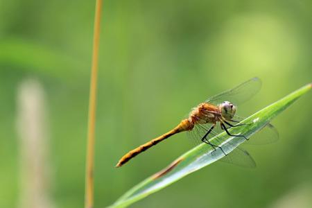darter: Female red-veined darter