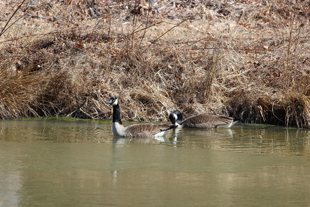 wetlands: Geese in the wetlands Stock Photo