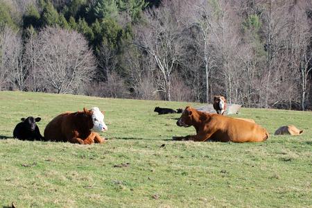 resting: Cattle resting