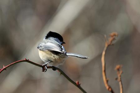 chickadee: Closeup of a chickadee landing on a small branch.