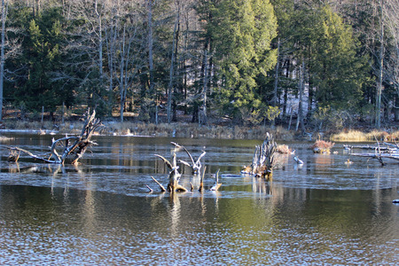 swampy: Old trees in the wetlands look like driftwood. Stock Photo