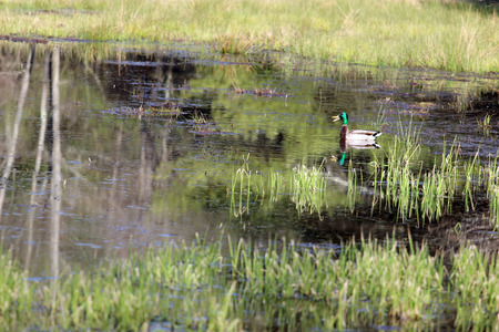 quacking: A beautiful male Mallard duck with a bright green head quacking in the swamp. Stock Photo