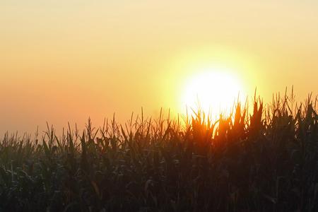 De zon komt op boven een maïsveld door de dichte mist. Stockfoto