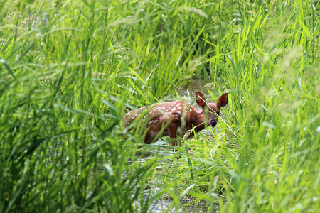 A fawn seems to be stuck in the swamp but quickly runs away after the shot. Stock Photo