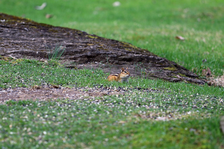 A chipmunk with full cheeks looking for food in the grass.