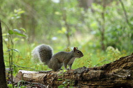 A gray squirrel with a fluffy tail on an old log.
