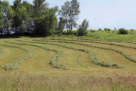Freshly mowed curved hay rows on the side of a hill. Stock Photo