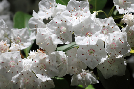 A close up of the beautiful mountain laurel flower. Stok Fotoğraf
