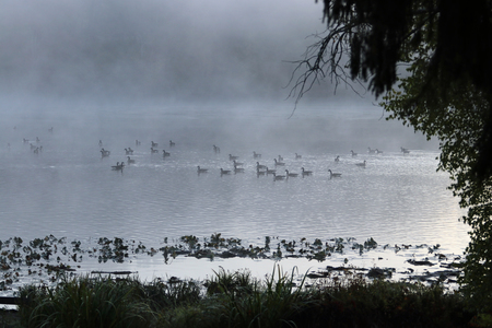 Geese paddling on a lake in the morning fog. Stock Photo