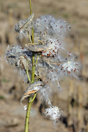Milkweed pods opening to release their seeds and show their silky fibers.