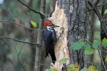A redheaded pileated woodpecker looking to penetrate this tree. Stock Photo