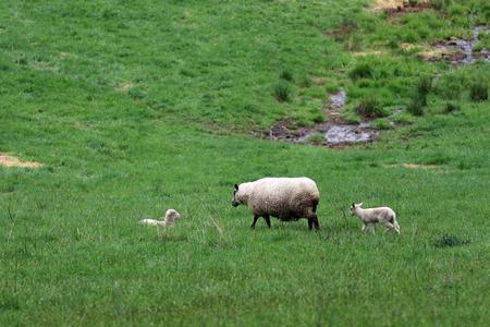 A sheep with a lamb following close behind. Archivio Fotografico - 105041555