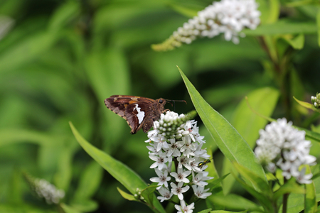 A silver-spotted skipper butterfly on the gooseneck loosestrife perennial flower.