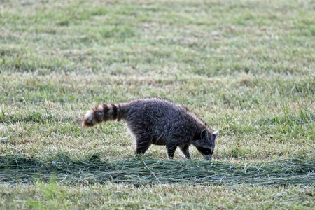 An early morning raccoon searching for food along this mowed field.